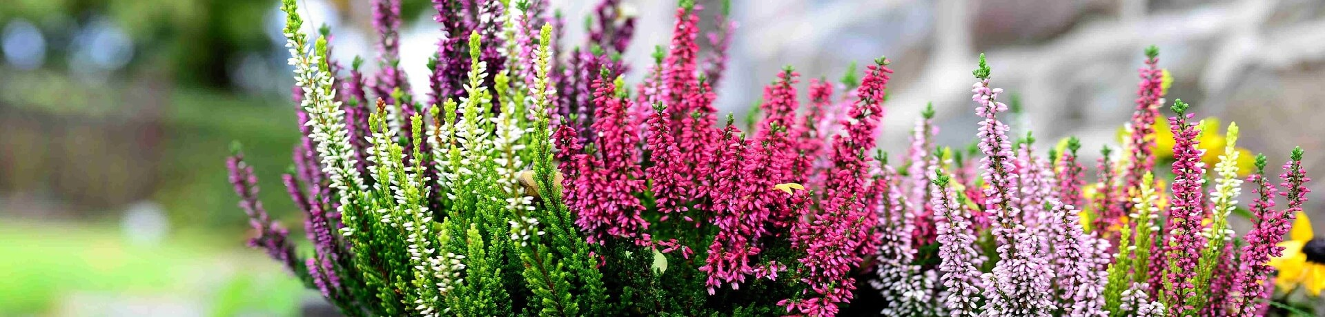 Vřesy a vřesovce udělají  spoustu parády na zahrádce, ale i v truhlíku či květináči.