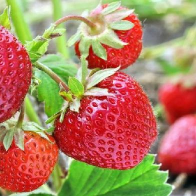 Ostatní drobné ovoce - Aromas10pack –jednoplodící
