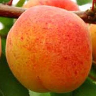 Meruňky - Early Orange
