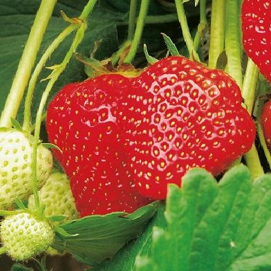 Ostatní drobné ovoce - Elsanta10pack –jednoplodící