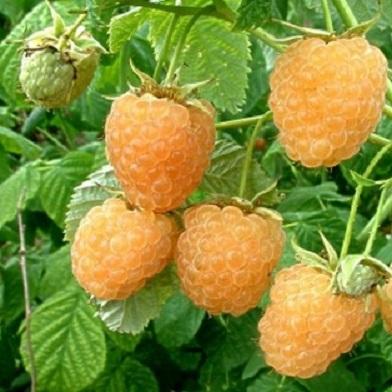 Ostatní drobné ovoce - Fallgold