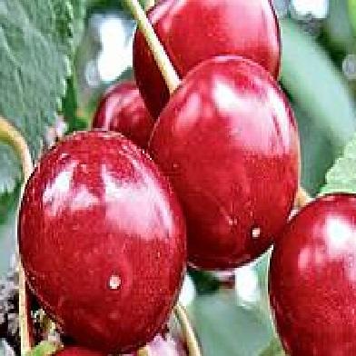 Višně - Gerema