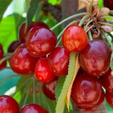 Višně - Griotela