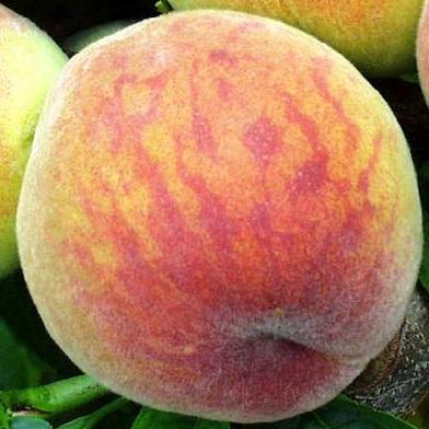 Broskvoně, nektarinky - Harbringer