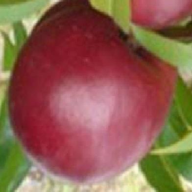 Broskvoně, nektarinky - Harco