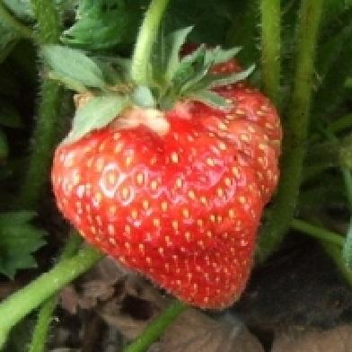 Ostatní drobné ovoce - Honeoye10pack –jednoplodící