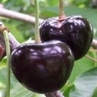 Třešně - Kordia