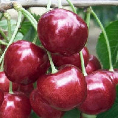 Třešně - Lapins