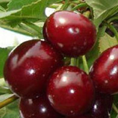 Višně - Lutowka