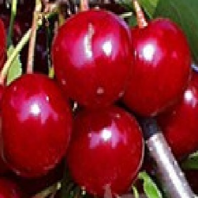 Višně - Meteor Korai