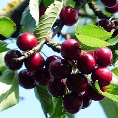 Višně - Morela pozdní