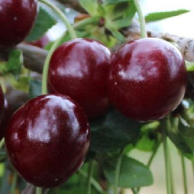 Višně - Morellenfeuer