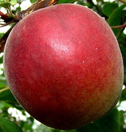 Broskvoně, nektarinky - Plamcot