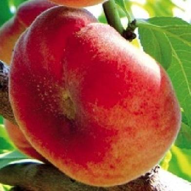 Broskvoně, nektarinky - Platerica (bělomasá)