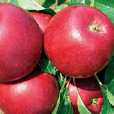 Jabloně - Red Top