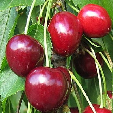 Třešně - Rivan