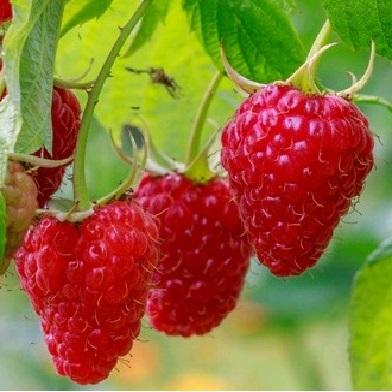 Ostatní drobné ovoce - Rubín-červenoplodý