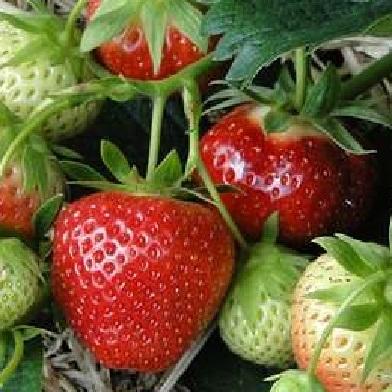 Ostatní drobné ovoce - Selva10pack –jednoplodící