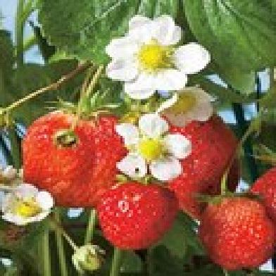Ostatní drobné ovoce - Senga Sengana10pack –jednoplodící