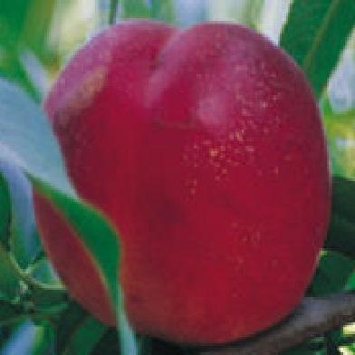 Broskvoně, nektarinky - Stark Red Gold