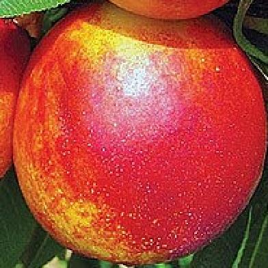 Broskvoně, nektarinky - Tena