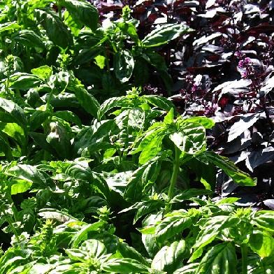 Bylinky na vaření - Bazalka červená a zelelná