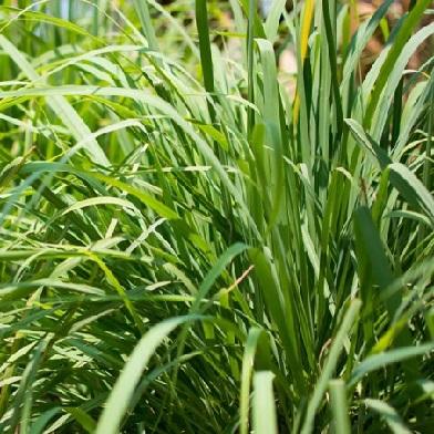 Bylinky na čaj - Citronová tráva