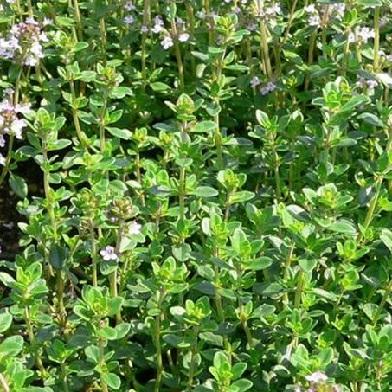 Bylinky na čaj - Mateřídouška citronová zelená