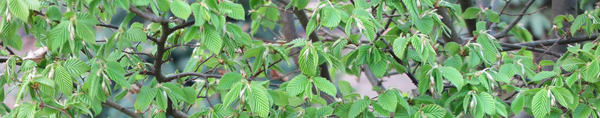 Listnaté stromy XXL