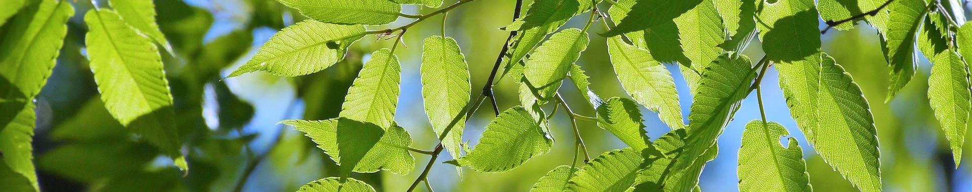 Listnaté rostliny