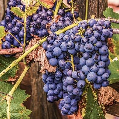 Vinná réva - Muskat Blue - rezistent