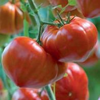 Rajčata - Rajče masité - Gourmandia