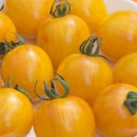 Rajčata - Rajče tyčkové - Aristan Golden Bumble Bee