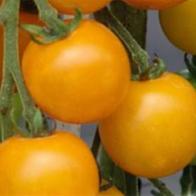 Rajčata - Rajče tyčkové - Goldkrone