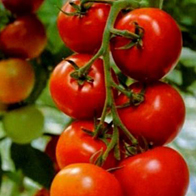 Rajčata - Rajče tyčkové - Tornádo