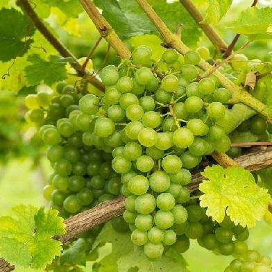 Vinná réva - Sultania (bezsemenné)