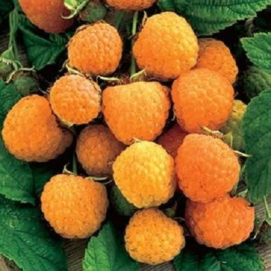Ostatní drobné ovoce - Zlatá Královna